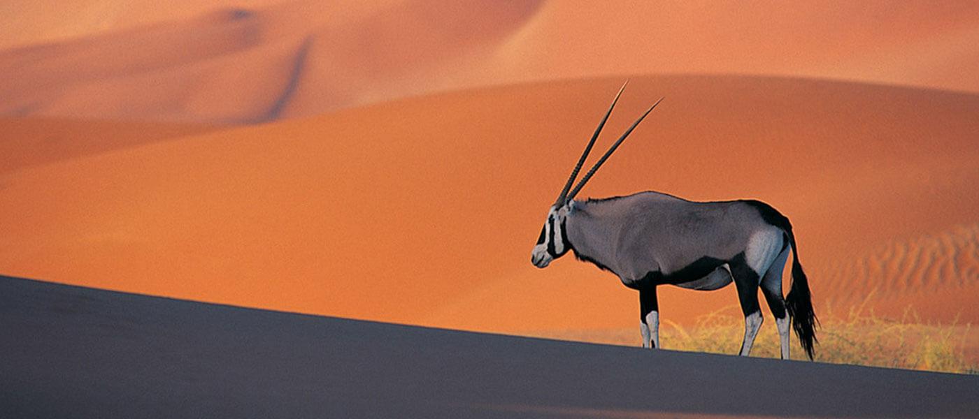 Gemsbok in the Safari - Upington 4x4 Rental