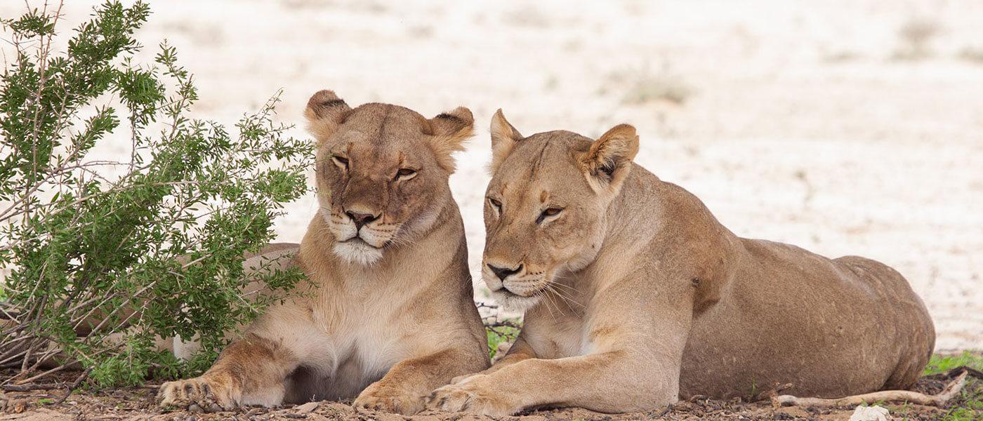 Lions in the Safari - Upington 4x4 Rental