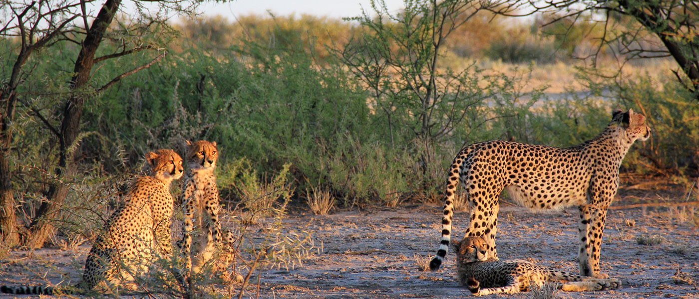 Cheethas in the Safari - Upington 4x4 Rental