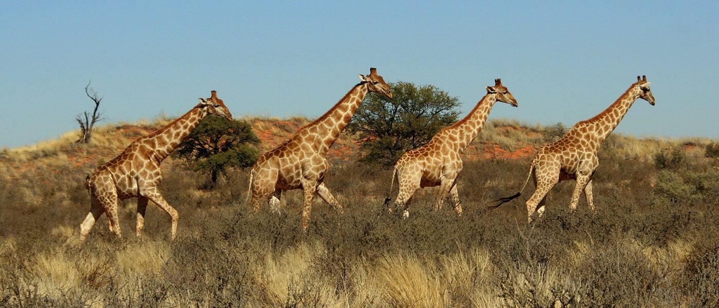 Giraffes in the Safari - Upington 4x4 Rental